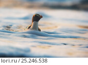 Купить «Fiordland crested penguin (Eudyptes pachyrhynchus) in foamy water near the shore. Westland, New Zealand, Vulnerable species. November.», фото № 25246538, снято 5 июля 2020 г. (c) Nature Picture Library / Фотобанк Лори