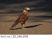 Купить «Yellow-headed Caracara (Milvago chimachima) juvenile. Gamboa, Soberania National Park, Panama.», фото № 25246658, снято 20 марта 2019 г. (c) Nature Picture Library / Фотобанк Лори