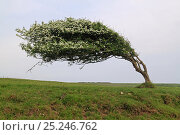 Купить «Hawthorn (Crataegus monogyna) showing influence of prevailing wind on its shape, Sussex, UK», фото № 25246762, снято 24 мая 2018 г. (c) Nature Picture Library / Фотобанк Лори