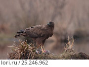 Купить «Western Marsh harrier (Circus aeruginosus) eating a dead Copyu / Nutria in winter, France, February», фото № 25246962, снято 18 июля 2018 г. (c) Nature Picture Library / Фотобанк Лори