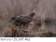 Купить «Western Marsh harrier (Circus aeruginosus) eating a dead Copyu / Nutria in winter, France, February», фото № 25247462, снято 18 июля 2018 г. (c) Nature Picture Library / Фотобанк Лори