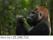 Купить «Western lowland gorilla (Gorilla gorilla gorilla) dominant male silverback 'Makumba' aged 32 years feeding on fruit, Bai Hokou, Dzanga Sangha Special Dense...», фото № 25248722, снято 27 февраля 2020 г. (c) Nature Picture Library / Фотобанк Лори