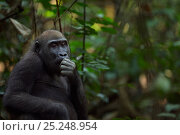 Купить «Western lowland gorilla (Gorilla gorilla gorilla) juvenile female 'Bokata' aged 6 years feeding on fruit, Bai Hokou, Dzanga Sangha Special Dense Forest...», фото № 25248954, снято 21 июля 2019 г. (c) Nature Picture Library / Фотобанк Лори