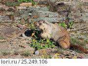 Купить «Hoary marmot (Marmota caligata) eating flowers, Glacier NP, Montana, USA», фото № 25249106, снято 22 октября 2019 г. (c) Nature Picture Library / Фотобанк Лори