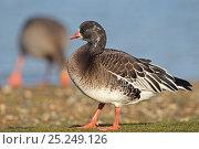 Купить «Lesser White fronted Goose (Anser erythropus) Ross's Goose hybrid, Whitlingham Country Park, Trowse, Norfolk UK, January», фото № 25249126, снято 4 июля 2020 г. (c) Nature Picture Library / Фотобанк Лори