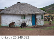 Goats in front of Zulu house, Hidden Valley, KwaZulu-Natal, South Africa, October 2006. Стоковое фото, фотограф Kerstin Hinze / Nature Picture Library / Фотобанк Лори