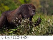Купить «Western lowland gorilla (Gorilla gorilla gorilla) sub-adult male 'Kunga' aged 13 years feeding on sedge grasses in Bai Hokou, Dzanga Sangha Special Dense...», фото № 25249654, снято 21 июля 2019 г. (c) Nature Picture Library / Фотобанк Лори