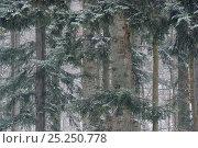Купить «Beech (Fagus sylvatica) and Fir (Abies alba) forest in snow, Poloniny National Park, Slovakia, February 2011», фото № 25250778, снято 14 августа 2018 г. (c) Nature Picture Library / Фотобанк Лори