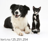 Купить «Black-and-white Border Collie bitch, with black-and-white tuxedo kitten, 10 weeks», фото № 25251254, снято 27 апреля 2018 г. (c) Nature Picture Library / Фотобанк Лори