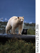Купить «Spirit bear (Ursus americanus) sow with dark cub walking on a log at high tide, along the coastal rainforest of the central British Columbia coast, Canada», фото № 25251386, снято 6 июня 2020 г. (c) Nature Picture Library / Фотобанк Лори