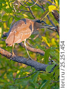 Купить «Striated green heron (Butorides striatus) on mangrove tree branch, Yellow Waters wetland, South Alligator River, Kakadu National Park, Northern Territory, Australia», фото № 25251454, снято 17 июля 2018 г. (c) Nature Picture Library / Фотобанк Лори