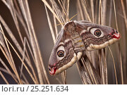 Small emperor moth female (Saturnia pavonia), Peak District National Park, UK. April. Стоковое фото, фотограф Alex Hyde / Nature Picture Library / Фотобанк Лори
