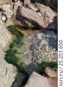 Rockpool high on a rocky shore fringed with Gutweed (Ulva intestinalis / Enteromorpha intestinalis), Wembury, Devon, UK, August. Стоковое фото, фотограф Nick Upton / Nature Picture Library / Фотобанк Лори