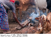 Купить «Orma village, pastoralist tribe woman keeping fire going as smoke keeps flies and mosquitoes away from livestock, Tana River delta, Kenya, East Africa 2010», фото № 25252506, снято 22 апреля 2019 г. (c) Nature Picture Library / Фотобанк Лори
