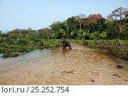 Купить «Western lowland gorilla (Gorilla gorilla gorilla) juvenile male 'Tembo' aged 4 years crossing a river in Bai Hokou, Dzanga Sangha Special Dense Forest Reserve, Central African Republic. December 2011.», фото № 25252754, снято 23 марта 2019 г. (c) Nature Picture Library / Фотобанк Лори