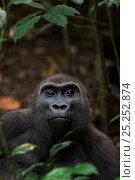 Купить «Western lowland gorilla (Gorilla gorilla gorilla) sub-adult female 'Mosoko' aged 8 years sitting amongst vegetation, Bai Hokou, Dzanga Sangha Special Dense...», фото № 25252874, снято 18 января 2019 г. (c) Nature Picture Library / Фотобанк Лори