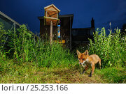 Купить «Red fox (Vulpes vulpes) foraging for scraps in town house garden managed for widlife. First year cub. Kent, UK, June. Camera trap image. Property released.», фото № 25253166, снято 22 июля 2018 г. (c) Nature Picture Library / Фотобанк Лори