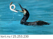 Купить «Common cormorant (Phalacrocorax carbo) catching a european eel (Anguilla anguilla) captive, Alsace, France.», фото № 25253230, снято 25 мая 2019 г. (c) Nature Picture Library / Фотобанк Лори