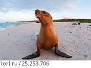 Купить «Galapagos sea lion (Zalophus wollebaeki) portraits on beach. Endangered. Espanola Island, Galapagos, Ecuador, June.», фото № 25253706, снято 22 марта 2019 г. (c) Nature Picture Library / Фотобанк Лори