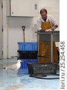 Купить «Adult Herring gull (Larus argentatus) looking for scraps in fish processing warehouse as fishmonger fillets fish, Looe, Cornwall, UK, June.», фото № 25254458, снято 22 июля 2018 г. (c) Nature Picture Library / Фотобанк Лори