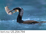 Купить «Common cormorant catching a trout (Phalacrocorax carbo) captive, Alsace, France.», фото № 25254794, снято 25 мая 2019 г. (c) Nature Picture Library / Фотобанк Лори