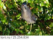 Купить «Black-Crowned Night Heron (Nycticorax nycticorax) perched in tree. Pinellas County, Florida, USA, November.», фото № 25254834, снято 21 февраля 2019 г. (c) Nature Picture Library / Фотобанк Лори