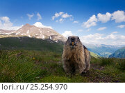 Alpine marmot (Marmota marmota), Hohe Tauern National Park, Austria, July. Стоковое фото, фотограф Edwin Giesbers / Nature Picture Library / Фотобанк Лори