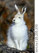 Купить «Arctic hare (Lepus arcticus) sitting, Ellesmere Island, Nunavut, Canada, June 2012.», фото № 25255310, снято 20 октября 2018 г. (c) Nature Picture Library / Фотобанк Лори
