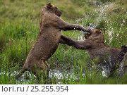 Купить «African lions (Panthera leo) two young lions play fighting in water, Masai Mara National Reserve, Kenya, September», фото № 25255954, снято 19 января 2018 г. (c) Nature Picture Library / Фотобанк Лори