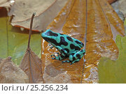 Купить «Black-and-green poison dart frog (Dendrobates auratus) in rainforest, Costa Rica», фото № 25256234, снято 31 мая 2020 г. (c) Nature Picture Library / Фотобанк Лори