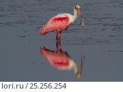 Купить «Roseate Spoonbill (Platalea ajaja), in breeding plumage reflected in shallow water. Sarasota County, Florida, USA, March.», фото № 25256254, снято 22 марта 2019 г. (c) Nature Picture Library / Фотобанк Лори