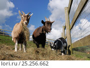 Купить «Two adults and a kid Pygmy goat (Capra hircus) grazing hay in a fenced paddock, Wiltshire, UK, March.», фото № 25256662, снято 19 августа 2018 г. (c) Nature Picture Library / Фотобанк Лори