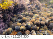 Купить «Dense gathering of Common periwinkles (Littorina liitorea) of all ages in a rockpool lined with Coralweed (Corallina officinalis) and Irish moss (Chondrus crispus), North Berwick, East Lothian, July», фото № 25257330, снято 19 июля 2019 г. (c) Nature Picture Library / Фотобанк Лори