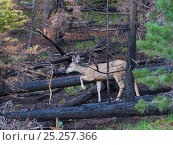 Mule deer (Odocoileus hemionus) in burnt forest, devastation of the 'Wallow Fire' with life returning after seasonal rain, Apache-Sitgreaves National Forest, Arizona, USA 2011. Стоковое фото, фотограф Jack Dykinga / Nature Picture Library / Фотобанк Лори