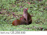 Купить «Central American agouti (Dasyprocta punctata) female suckling young, Gamboa, Soberania National Park, Panama», фото № 25258930, снято 21 марта 2019 г. (c) Nature Picture Library / Фотобанк Лори