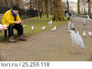Man sitting on a park bench photographing Grey heron (Ardea cinerea), Regents Park, London, England, UK, February. Стоковое фото, фотограф Terry Whittaker / 2020VISION / Nature Picture Library / Фотобанк Лори