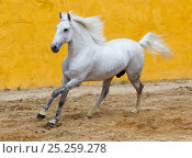 Купить «Lusitano horse, grey stallion cantering, Portugal», фото № 25259278, снято 15 октября 2018 г. (c) Nature Picture Library / Фотобанк Лори