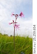 Купить «Ragged Robin Silene flos-cuculi growing in meadow at Woodwalton Fen Cambridgeshire Fens June», фото № 25259654, снято 20 июня 2018 г. (c) Nature Picture Library / Фотобанк Лори