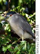 Купить «Black-Crowned Night Heron (Nycticorax nycticorax) perched in tree. Pinellas County, Florida, USA, November.», фото № 25260118, снято 21 февраля 2019 г. (c) Nature Picture Library / Фотобанк Лори