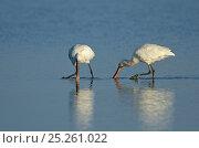 Купить «Spoonbills (Platalea leucorodia) foraging in water. Cley, Norfolk, May.», фото № 25261022, снято 27 февраля 2020 г. (c) Nature Picture Library / Фотобанк Лори