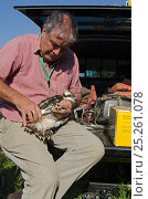 Tim Appleton, Site Manager at Rutland Water, ringing a soon to fledge Osprey (Pandion haliaetus) chick from nest close to Rutland Water. UK, June. Стоковое фото, фотограф David Tipling / 2020VISION / Nature Picture Library / Фотобанк Лори