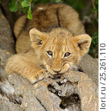Купить «African lion (Panthera leo) cub chewing log, Masai Mara National Reserve, Kenya», фото № 25261110, снято 16 июня 2019 г. (c) Nature Picture Library / Фотобанк Лори