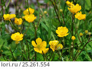 Купить «Creeping buttercup / Creeping crowsfoot (Ranunculus repens) in flower, Belgium», фото № 25261554, снято 22 июля 2018 г. (c) Nature Picture Library / Фотобанк Лори