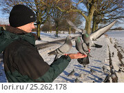 Купить «Feral Pigeons (Columba livia) feeding out of a man's hand. Glasgow, Scotland, December.», фото № 25262178, снято 12 декабря 2017 г. (c) Nature Picture Library / Фотобанк Лори