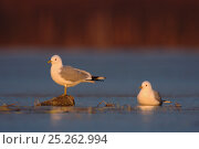 Купить «Two Common / Mew gulls (Larus canus) one standing on rock, the other sitting, Ovre-Pasvik National Park, Finnmark, Norway, May», фото № 25262994, снято 22 июня 2018 г. (c) Nature Picture Library / Фотобанк Лори