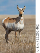 Купить «Pronghorn (Antilocapra americana) young male with start of antler growth in early spring, on Canadian prairies, Saskatchewan, Canada, January», фото № 25263462, снято 21 марта 2018 г. (c) Nature Picture Library / Фотобанк Лори