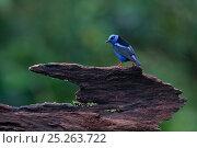 Купить «Red legged honeycreeper (Cyanerpes cyaneus) near Boca Tapada, Costa Rica. January 2011», фото № 25263722, снято 24 марта 2019 г. (c) Nature Picture Library / Фотобанк Лори