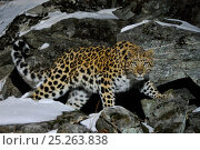 Купить «Wild female Amur leopard (Panthera pardus orientalis) on rocky hillside, Kedrovaya Pad reserve, Primorsky Krai, Far East Russia, January. Critically endangered...», фото № 25263838, снято 22 июля 2018 г. (c) Nature Picture Library / Фотобанк Лори
