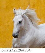 Купить «Lusitano horse, grey stallion cantering, Portugal», фото № 25264754, снято 20 июля 2018 г. (c) Nature Picture Library / Фотобанк Лори