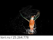 Купить «Kingfisher (Alcedo atthis) leaving water after successfully catching a fish, Hessen, Germany, sequence 9/9», фото № 25264778, снято 26 марта 2019 г. (c) Nature Picture Library / Фотобанк Лори